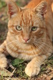 Tabby Cat Photos libres de droits
