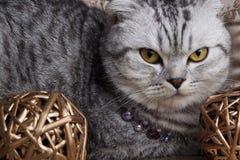 Tabby Cat Stock Afbeeldingen