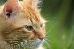 Tabby cat. Close up of a tabby cat royalty free stock photo