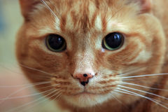 Tabby Cat. Shorthair orange cat staring at the camera.  Closeup and great reflections in his eyes Stock Photos