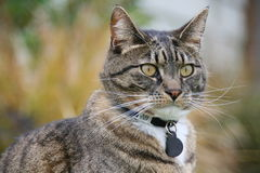 Tabby Cat. Pet tabby cat modeling outdoors royalty free stock photos