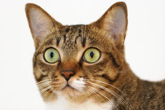Tabby cat. Staring Royalty Free Stock Photo
