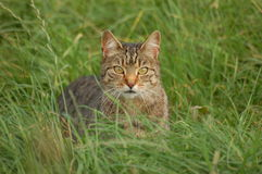 Tabby Cat. Hunting in the long grass at Donaghadee, Northern Ireland royalty free stock photo