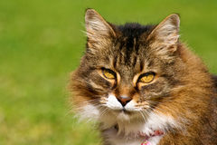 Tabby cat. Portrait of a long haired tabby cat with gold eyes Royalty Free Stock Photography