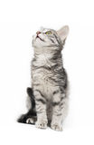 Tabby-cat. Tabby cat at white background stock photography