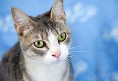 Tabby Cat Adoption Portrait Photo stock
