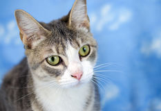 Tabby Cat Adoption Portrait Stock Photo