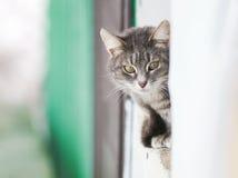 Tabby cat afraid of peeking around the corner Royalty Free Stock Photo