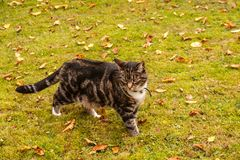 Tabby cat ankle deep in mossy grass stock photography