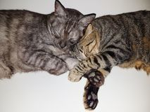 a tabby cat and another tortoiseshell sleeping stock photography