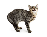 Tabby Cat With Arched Back en Open Mond Stock Foto's