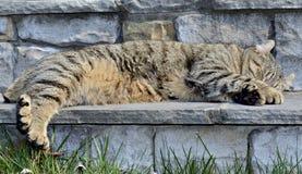 Tabby Cat Asleep auf Schritten Stockbilder