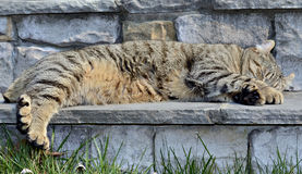 Tabby Cat Asleep on Steps stock images
