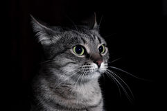The tabby cat Stock Photos