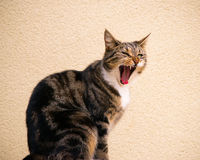 Tabby Cat Attempts A Fierce Roar Stock Photo