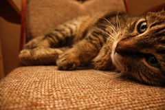 Tabby Cat auf einem Schaukelstuhl Stockbild