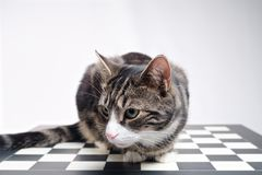 Tabby Cat auf Schach-Brett Stockbild