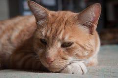 Tabby Cat. Australian domestic tabby, resting indoors royalty free stock photo