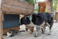 Tabby cat and Australian Shepherd dog interaction stock photos
