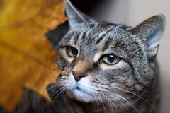 Tabby cat and autumn leaf stock image