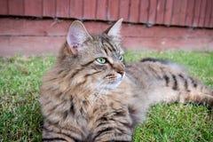 Tabby Cat aux cheveux longs Images stock