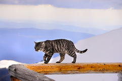 Tabby cat on a background of mountains in the snow. Tabby cat walking along a wooden railing against a background of snow-capped mountains. Natural beautiful Stock Photo