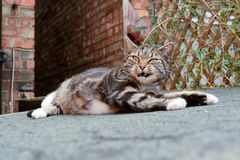 Tabby cat showing teeth. Tabby cat bearing teeth laying on shed roof Stock Photography