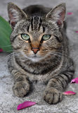 Tabby cat Royalty Free Stock Photos