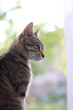 Tabby Cat. Beautiful brown tabby cat, profile view. Selective focus stock photography