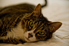 Tabby Cat on the Bed. Tabby cat laying on the bed Stock Photography