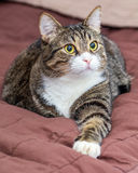 Tabby cat on bed Stock Photography
