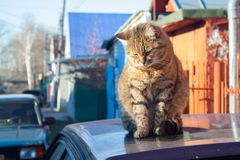 Tabby cat. A big fluffy tabby cat sits on the roof of a car on a sunny autumn day royalty free stock photos