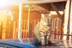 Tabby cat. A big fluffy tabby cat sits on the roof of a car on a sunny autumn day royalty free stock image