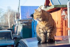 Tabby cat. A big fluffy tabby cat sits on the roof of a car on a sunny aun day stock photos