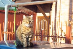 Tabby cat. A big fluffy tabby cat sits on the roof of a car on a sunny aun day stock images
