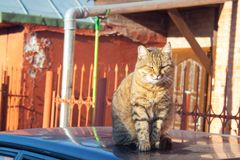 Tabby cat. A big fluffy tabby cat sits on the roof of a car on a sunny aun day stock photo