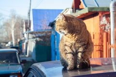 Tabby cat. A big fluffy tabby cat sits on the roof of a car on a sunny aun day stock photography