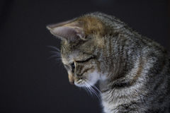 Tabby cat on black background. Tabby cat looking down from a side profile Stock Image