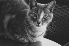 Tabby Cat, Black and White royalty free stock photo