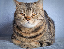 Tabby cat on blue background Royalty Free Stock Image