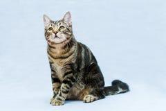 Tabby cat Royalty Free Stock Photos