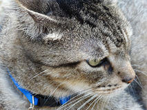 Tabby Cat Profile Close-Up Macro Stock Images