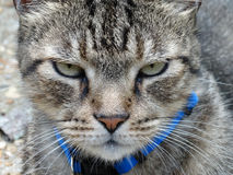 Tabby Cat with Green Eyes Close-Up Macro Royalty Free Stock Photo