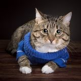 Tabby Cat in a blue jacket stock images