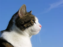 Tabby Cat on Blue Sky. Tabby and Whit Cat in Profile against Blue Sky Background royalty free stock photography