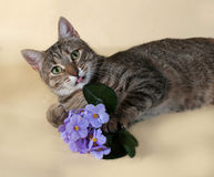 Tabby cat with bouquet of purple flowers lying and licked on yel Royalty Free Stock Photography