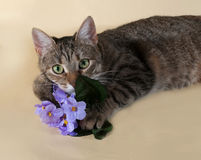 Tabby cat with bouquet of purple flowers lying on yellow Stock Image