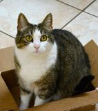 TABBY CAT IN A BOX. Stripped, feline posing for a photo in a cardboard box Royalty Free Stock Images