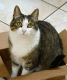 TABBY CAT IN A BOX. Stripped, feline posing for a photo in a cardboard box Royalty Free Stock Image