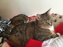 Tabby Cat Brothers Photo libre de droits